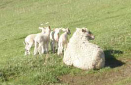 Mother Sheep with Four Babies