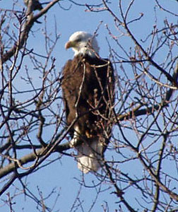 Bald Eagle Spotted at Landfill
