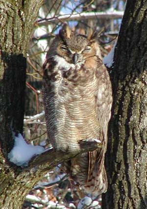 Great Horned Owl at Landfill