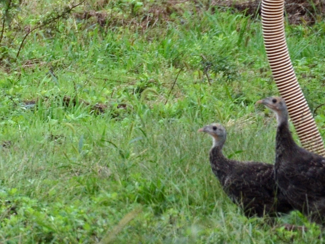 Two young Turkeys next to a landfill gas well