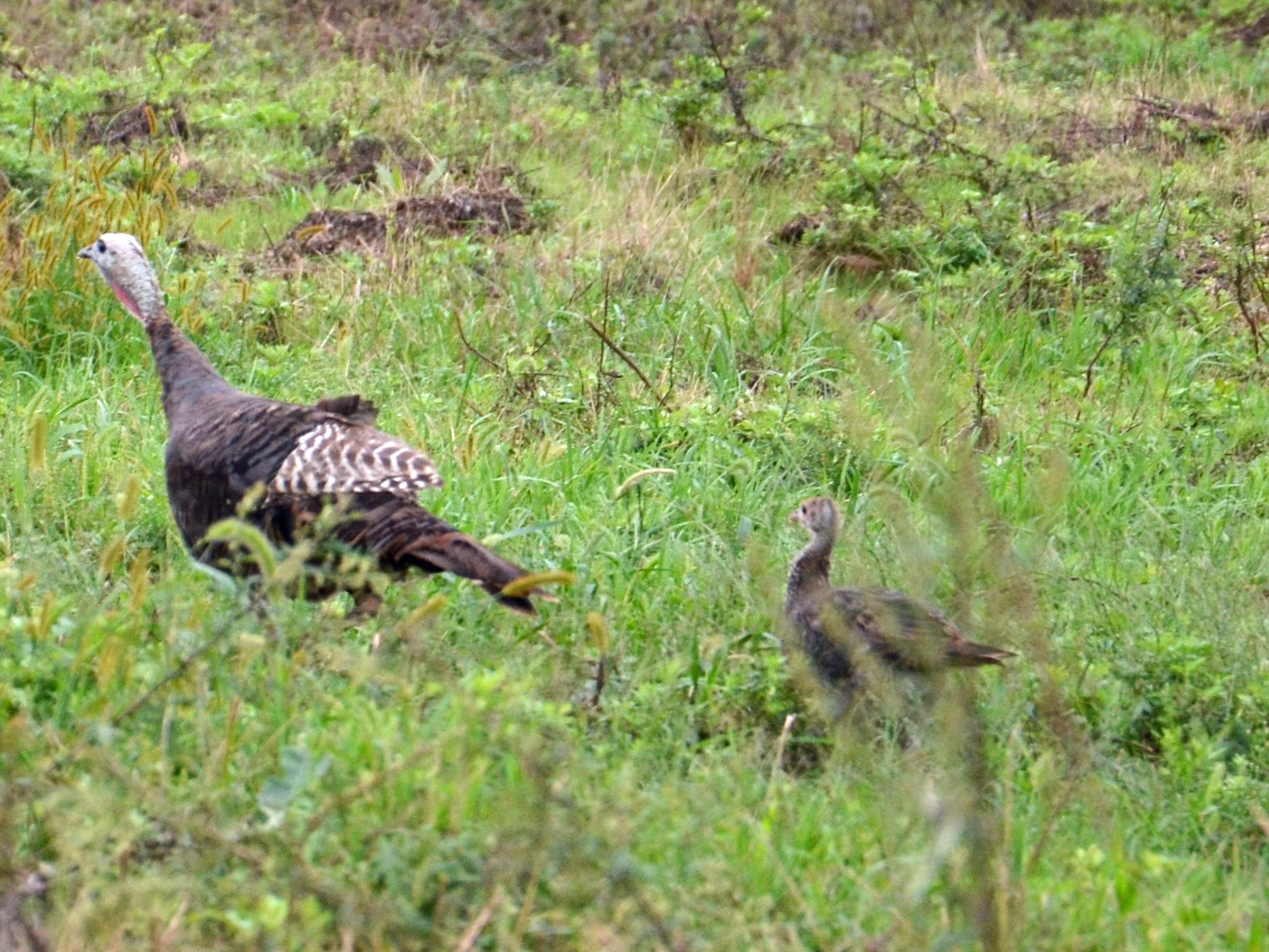 Young Turkey close behind mom