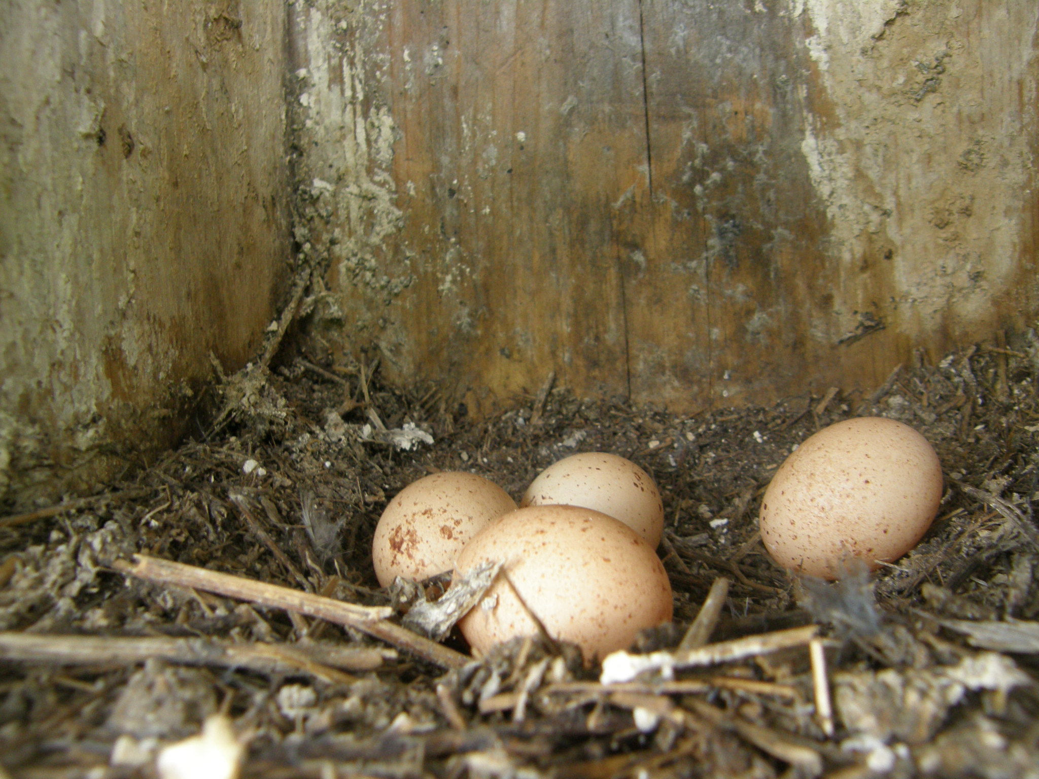 Kestrel Eggs