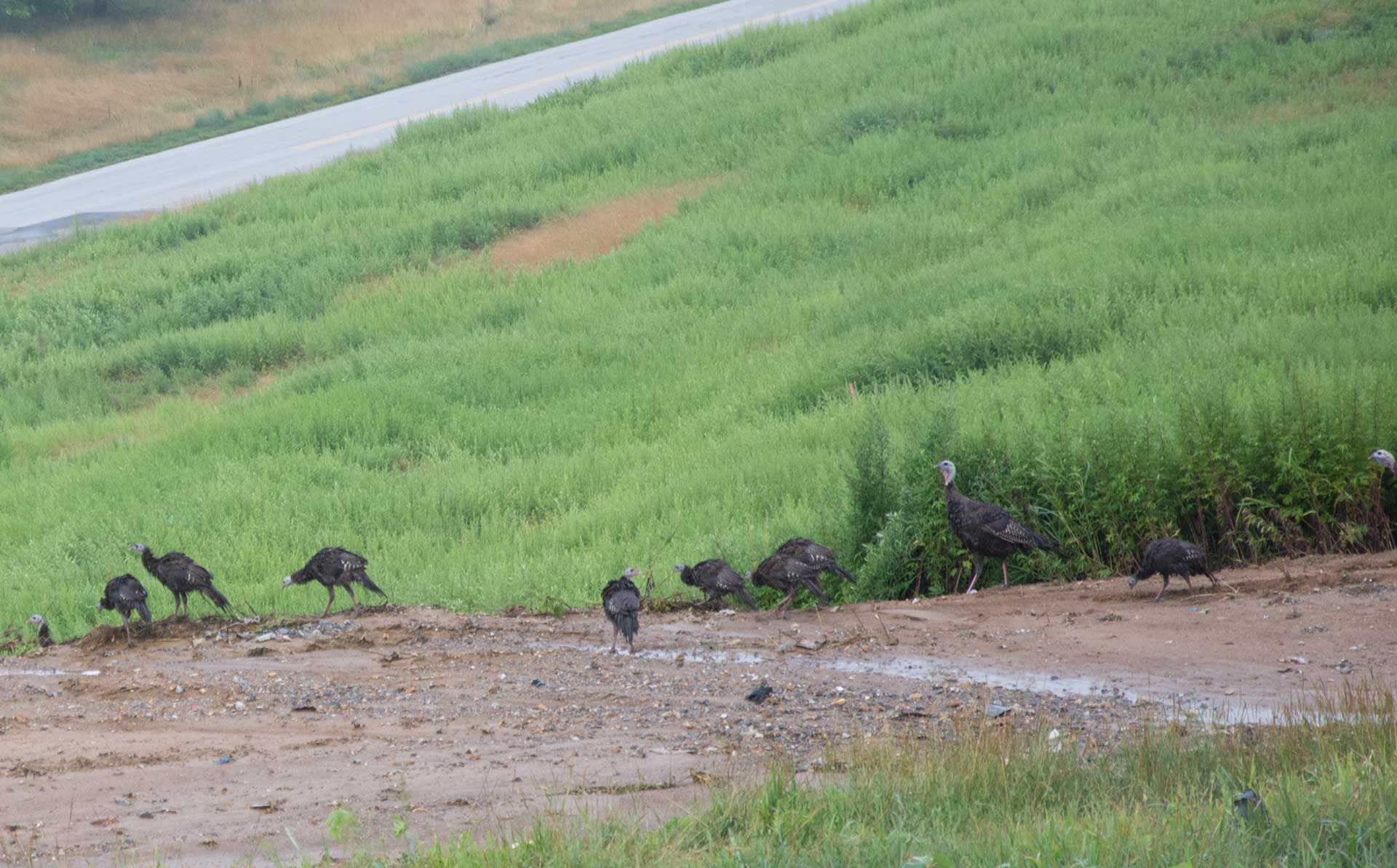 Turkeys on the Landfill