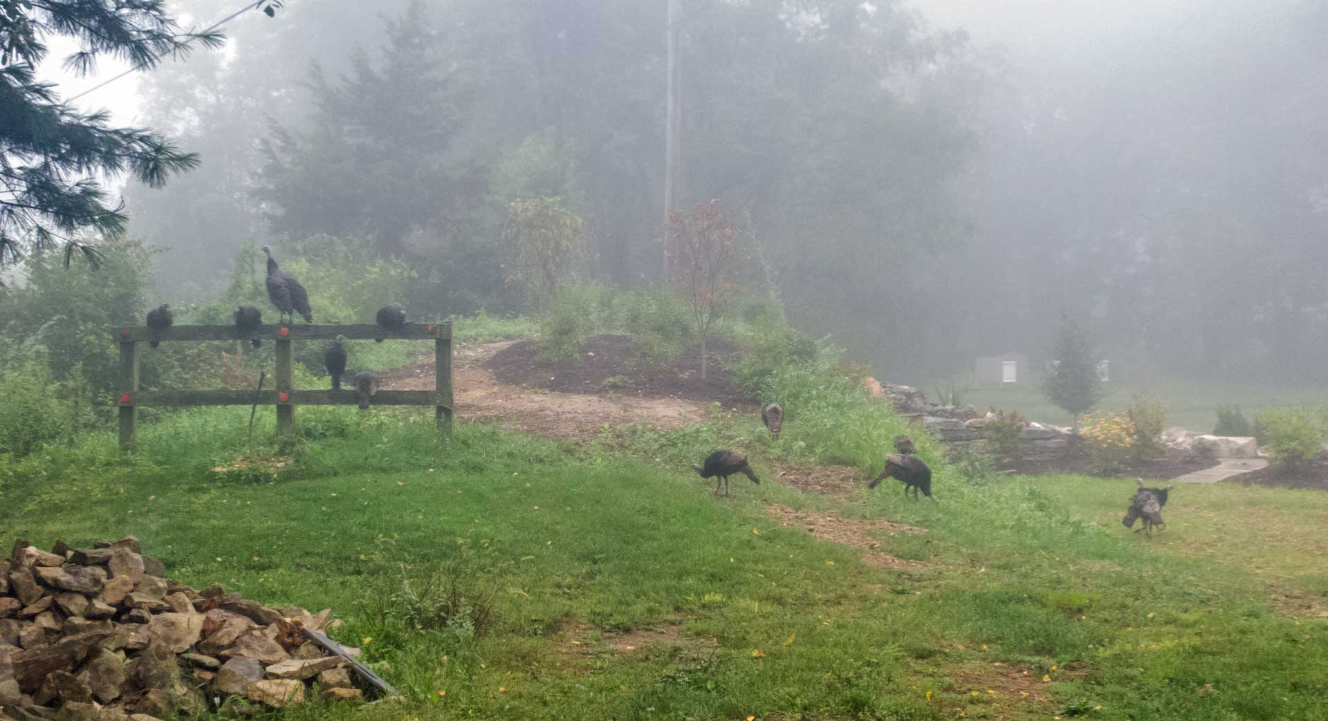 Turkeys at the Pond